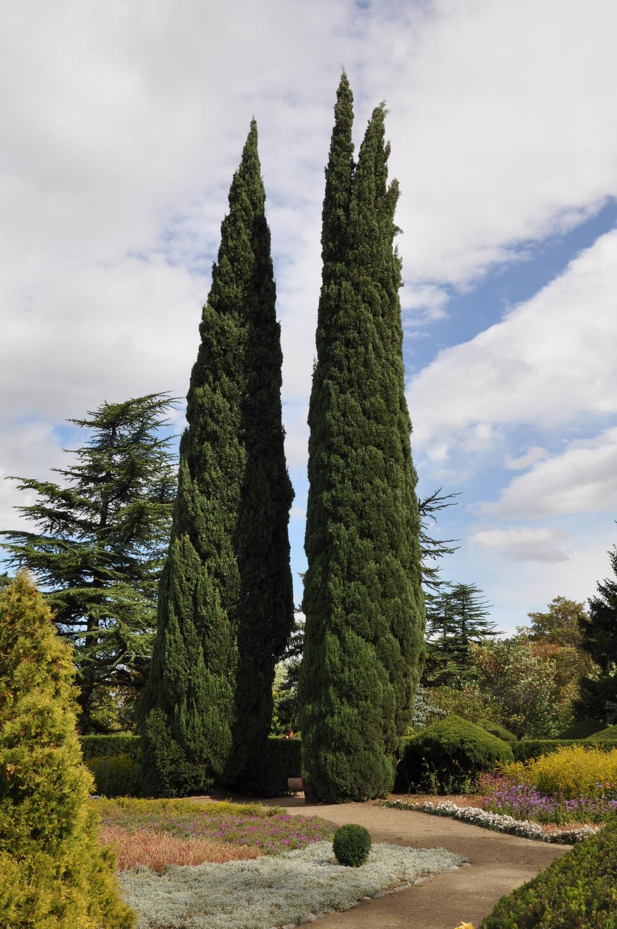 Iso Pinus suku puoli